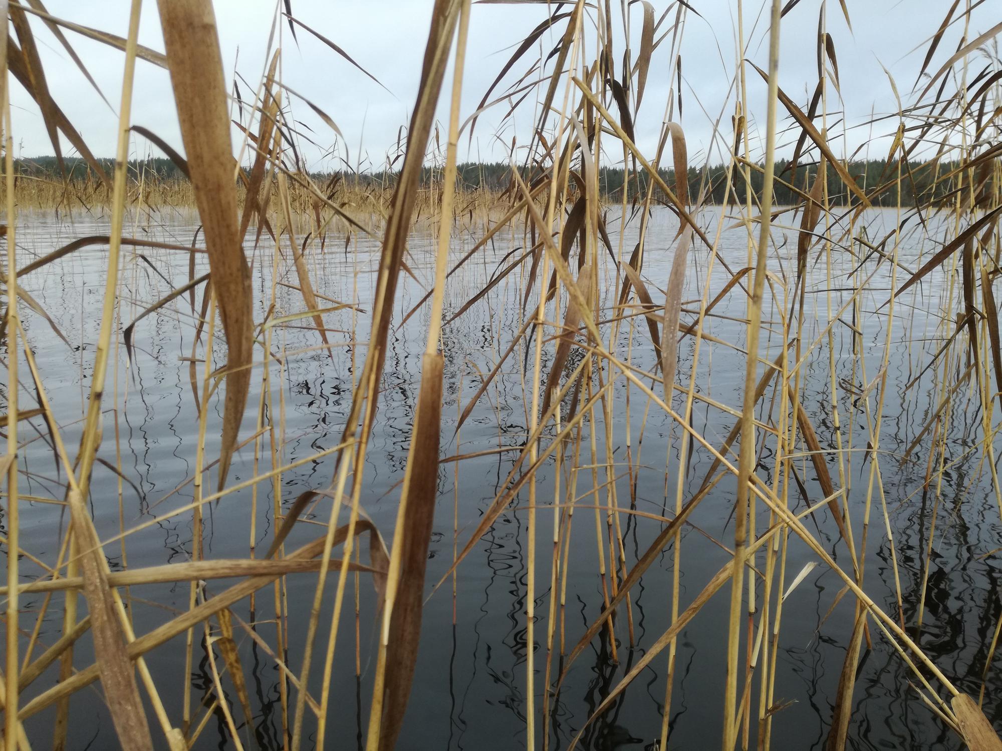 Ruovikkoa Näsijärven Vankavedellä