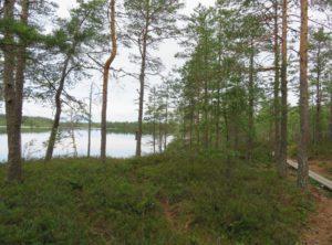 suomalainen metsämaisema.