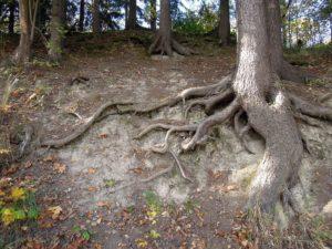 Suomalaisen puun juuret. Kuvituskuva. Kuva: Pixabay.