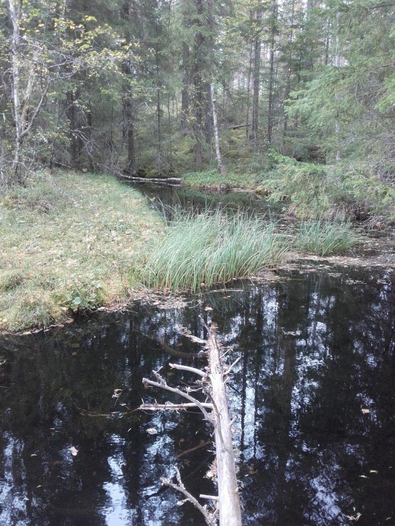 Kuvassa näkyy Ruoveden Pärjänlähteet, Siikakangas 2E-luokan pohjavesialue. Maaekosysteemi on pohjavedestä suoraan riippuvainen, kun pohjavesi ylläpitää luontotyypin ominaispiirteitä sekä vaikuttaa sen suojeluun ja säilymiseen. Merkittävyyttä arvioidaan alueen laajuudella, lajien esiintyvyydellä, purkautuvan pohjaveden määrällä ja alueellisella esiintyvyydellä. Kuva: Annukka Vähä-Vahe.