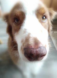 Kola-koiran kasvokuva